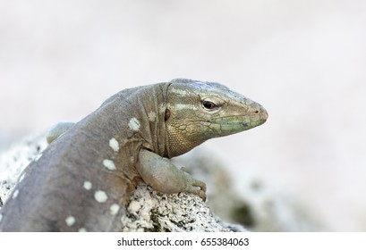 Whiptail lizard on a rock
