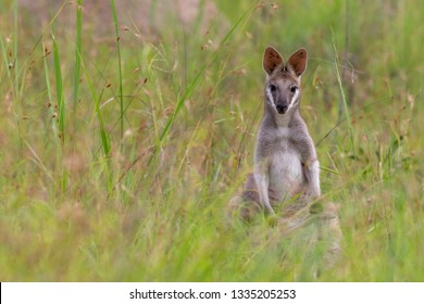 Whiptail or pretty-faced wallaby (Macropus parryi) grazing in thick grass near Davies Creek, Queensland.