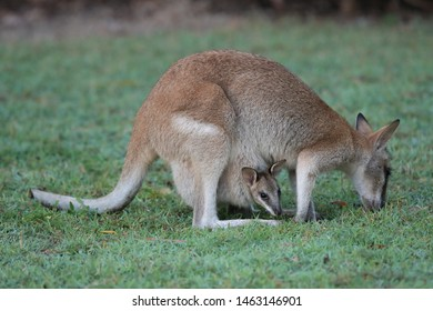 whiptail wallaby (Macropus parryi), mackay, north queensland, australia