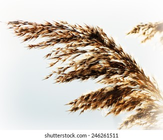 whisk reeds waving wind on a light background