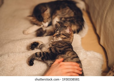 whisker cats family sleeping on the couch  warming itself in the evening stuck at home human hand petting them - Shutterstock ID 1930338581