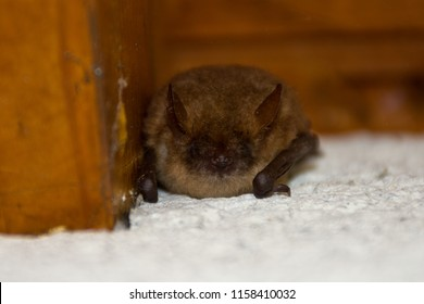 Whiskered bat (Myotis mystacinus), a little bat species sleeps under a roof ledge.