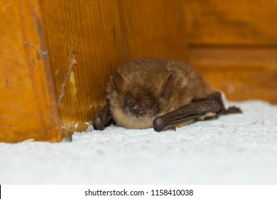 Whiskered bat (Myotis mystacinus), a little bat species sleeps under a roof ledge.