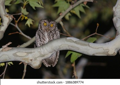 Whiskered Screech Owl in a sycamore tree at night