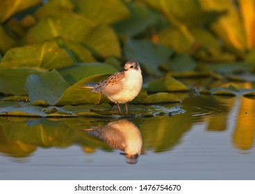 Whiskered tern (Chlidonias hybrida) chick stands on leaves of aquatic plants in soft morning light