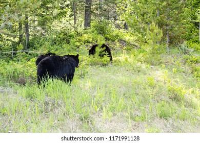 Whispering Wood Ln Field/British Columbia/Canada - Jun 02 2018: Bear family walking through Banff National Park