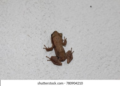 """Whistling Coqui"" frog (or Cochran's Treefrog, Cochran's Robber Frog) on a white wall in St. Gallen, Switzerland. Its Latin name is Eleutherodactylus Cochranae, native to Puerto Rico."