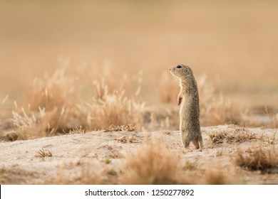 whistling cute ground squirrel natural 260nw