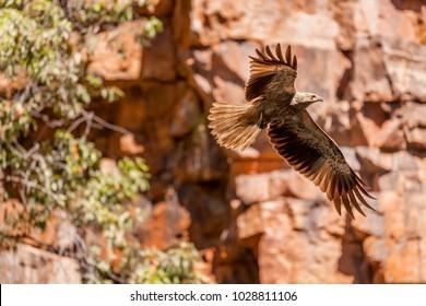 Whistling Kite (Haliastur sphenurus) in flight at The Grotto, a small gorge in the Kimberley region of Western Australia.