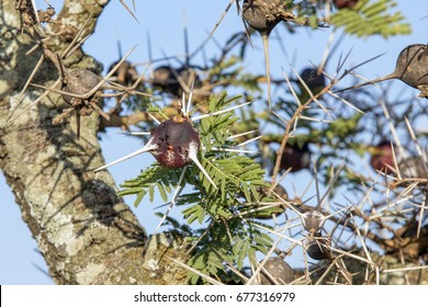 Whistling Thorn Acacia tree lives in symbiotic relationship with ants which live in the thorns