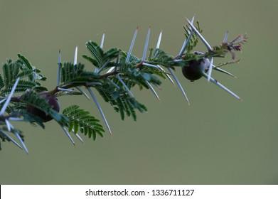 Whistling Thorn branch, ( Vachellia drepanolobium ), with blurred background and beautiful big brown swollen thorns. Masai Mara, Kenya, Africa