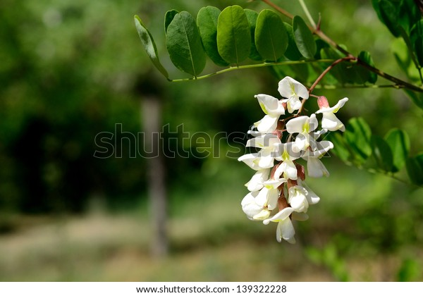 White acacia flower blossom in spring