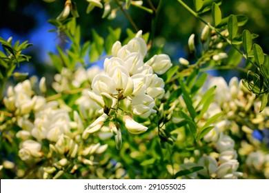 White acacia flowers