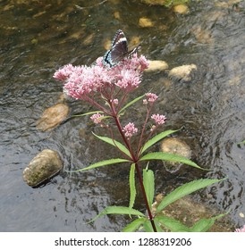 White Admiral Butterfly on Blooming Joe-Pye Weed near a gentle forest stream