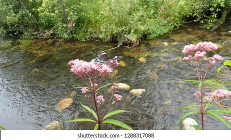White Admiral Butterfly on Joe-Pye Weed flower next to a flowing forest stream