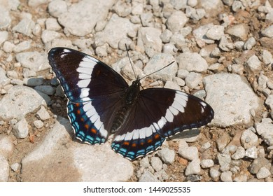 A White Admiral Butterfly is puddling on a gravel path collecting salts and minerals from the earth. Carden Alvar Provincial Park, Kawartha Lakes, Ontario, Canada.