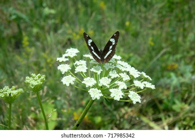 White admiral (Red-spotted Purple, Limenitis camilla, female) on umbrella Hogweed. Butterfly is named after the Amazon Camilla