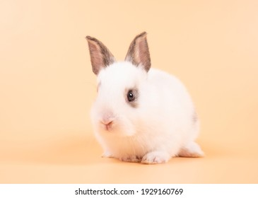 White adorable baby rabbit on yellow background. Cute baby rabbit.