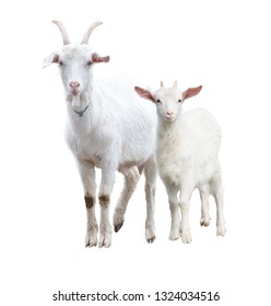 White, adult goat with a little goat. isolated.