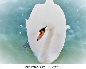 White adult swan on shiny water with colorfull face
