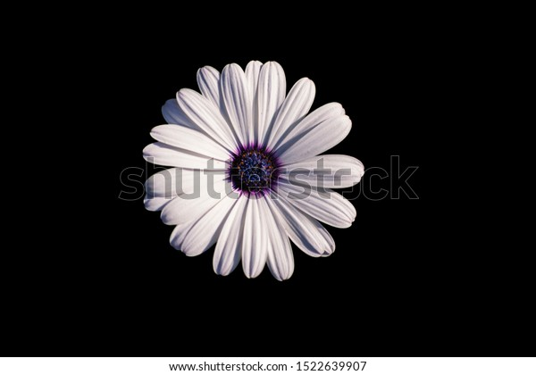 white-african-daisy-cape-osteospermum-60