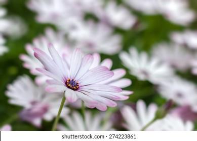 White African Daisy (Dimorphotheca pluvialis),Selective focus