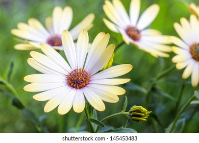 White african moon daisy, oxeye daisy. Wallpaper, background