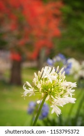 A white Agapanthus flower in the foreground at Milson Park in North Sydney with red and green trees behind on a blurred background.