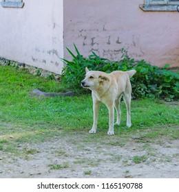 White agressive homless stray dog on the street