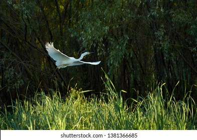 White aigrette flying over the tall green grass with water willows in the background