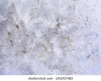 White airy natural background. Beautiful dry decorative garden plant like dandelion or thistle flower seeds close up detail photo as airy background. White fluffy furry airy background pattern texture