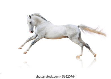 white akhal-teke horse isolated on white
