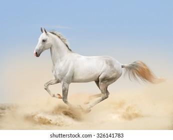 white akhal-teke horse running in desert