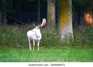 A white albino fallow deer (Dama dama, damwild) on the green meadow in front of old trees in a wild enclosure. Summer wildlife in germany. Front view.