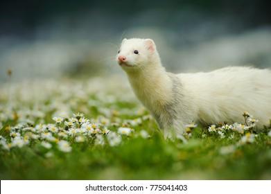 White albino Ferret outdoor portrait in field of flowers