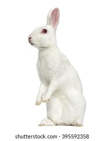White albino hare on his hind legs isolated on white