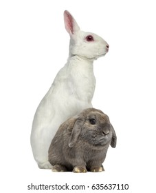 White albino hare on his hind legs and Holland Lop rabbit isolated on white