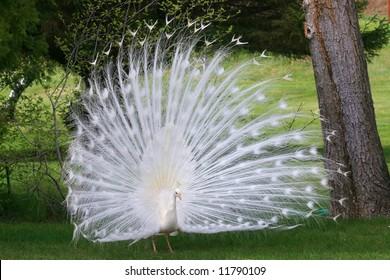 White Albino Peacock