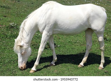 white albino young horse while grazing in mountain