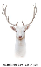 White albus deer portrait isolated on white background