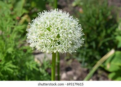 White Alium (onion) flower