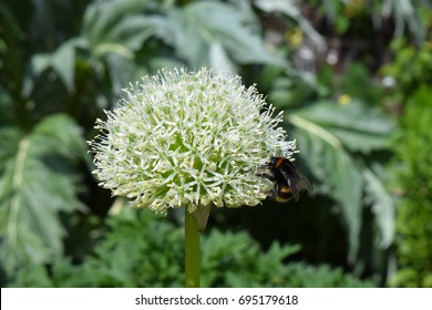 White alium (onion) flower with bee