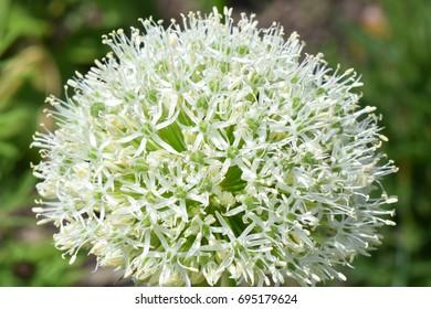 White alium (onion) flower head - close up