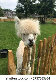 White alpaca clipped funny head peeking out from behind a fence. Beautiful hairstyle and smile with black lips. In the background is green grass and a dark bucket of water. Farm animal on a sunny day
