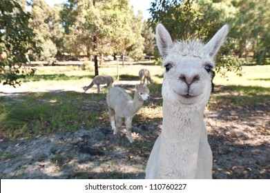 White alpaca couple in free range zoo