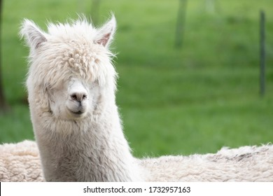 White Alpaca, a white alpaca in a green meadow. Selective focus on the head of the alpacaphoto of head.