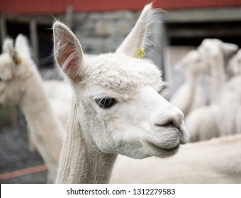 White alpaca herd, funny animals, long-eared funny animals, alpaca white fur, white-coated alpaca, alpaca farm