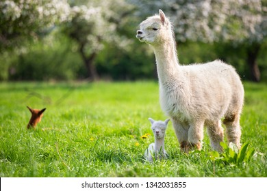 White Alpaca with offspring, South American mammal