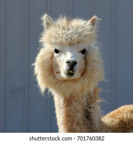 White Alpaca - Photograph of a white alpaca in front of a metal barn.  Selective focus on the head area of the alpaca.
