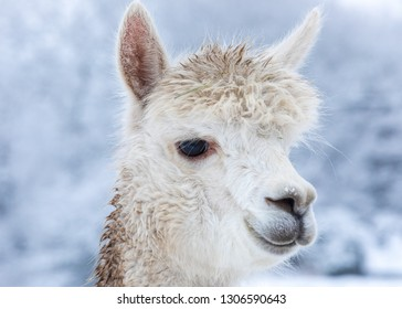 White alpaca portrait - face in profile. Headshot. Large eyes.